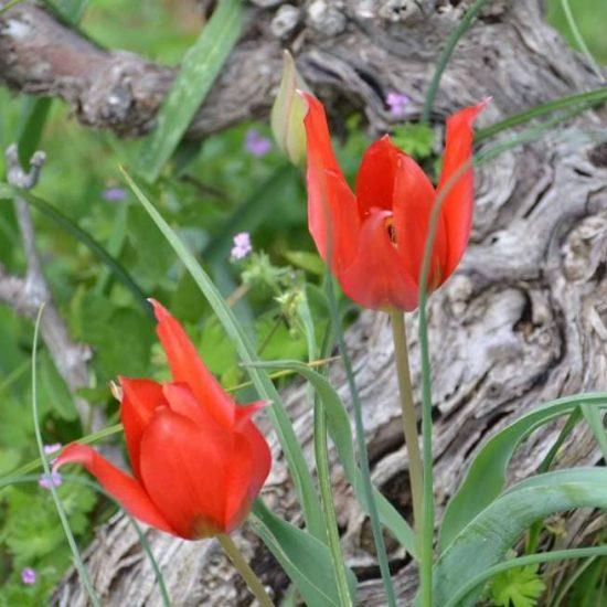 Pafos Tulip